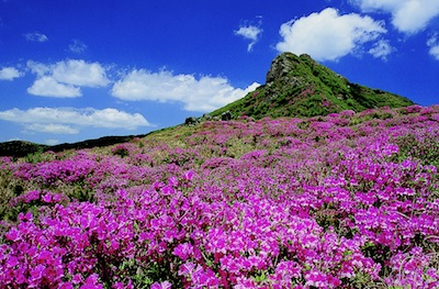 Rhododendrons in bloom on Mount Hwangmae, South Korea by Republic of Korea via https://www.flickr.com/photos/koreanet/4458647097/