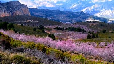 Sierra Aitana Cherry Blossom, Spain by Les Haines via https://www.flickr.com/photos/leshaines123/8501957929/